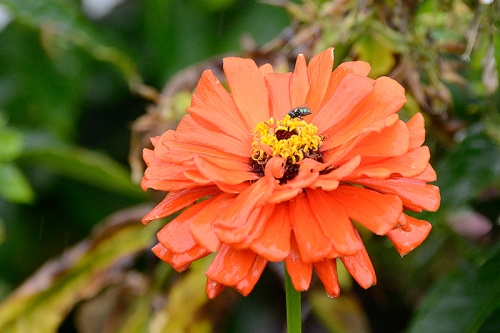zinnia with insect