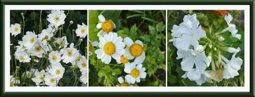 anemone feverfew phlox