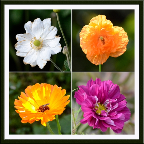 anemone, poppy, calendula, cosmos