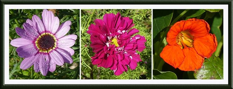 argyranthemum, cosmos, nasturtium