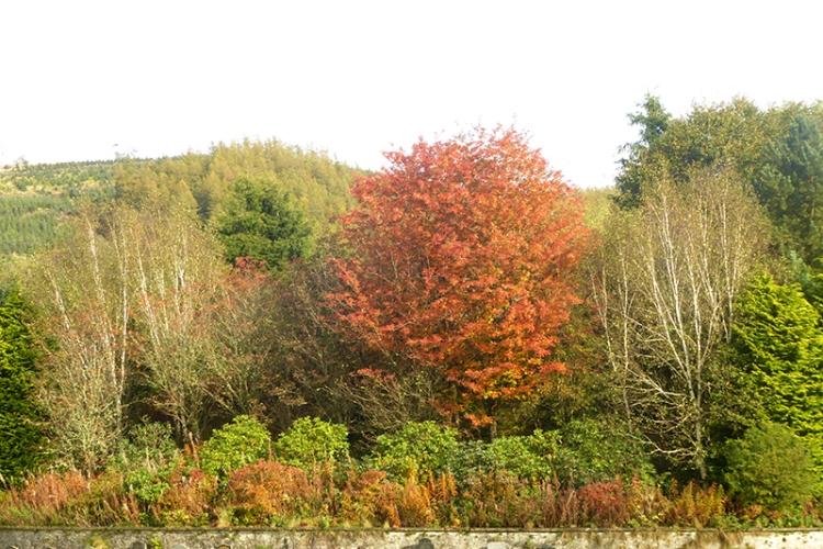 autumn colour Westerkirk graveyard