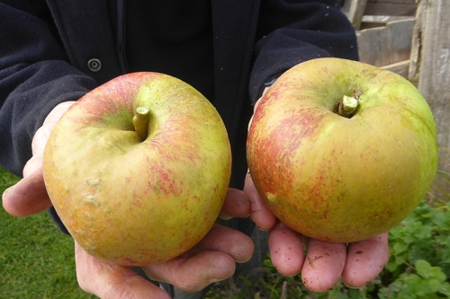 big apples