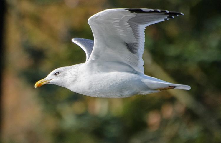 black backed gull flying 2