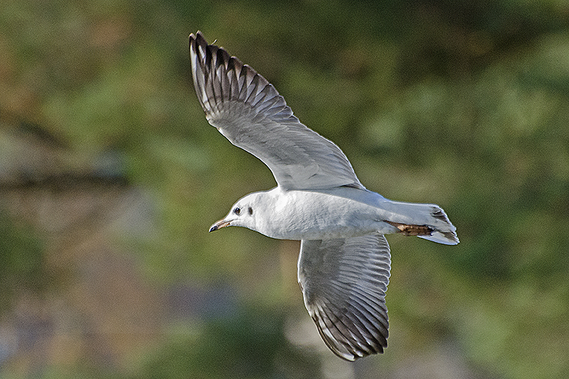 black headed gull flying 2