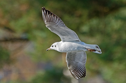 black headed gull flying 2