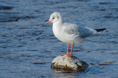 black headed gull on rock
