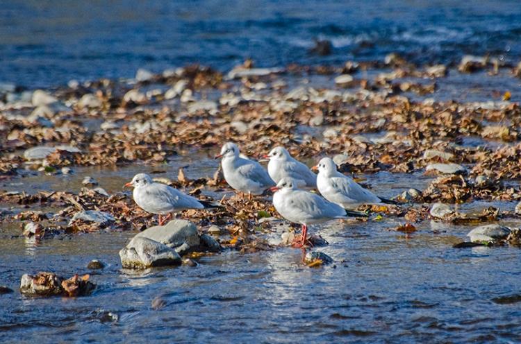 black headed gulls Kilngreen