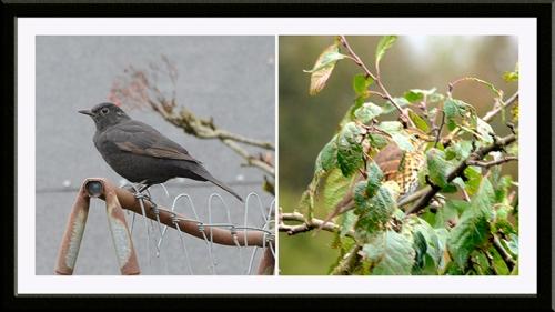blackbird and thrush