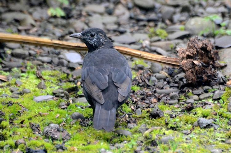 blackbird improving