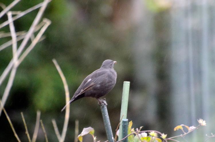 blackbird in the rain