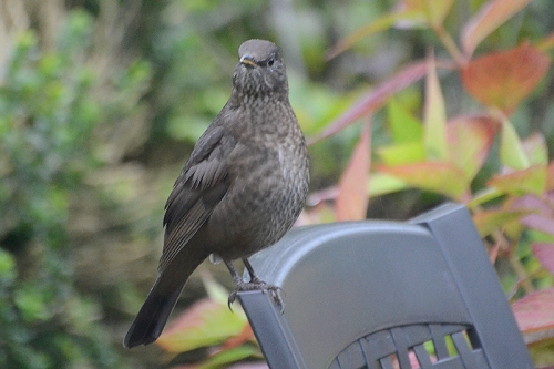 blackbird on chair staring