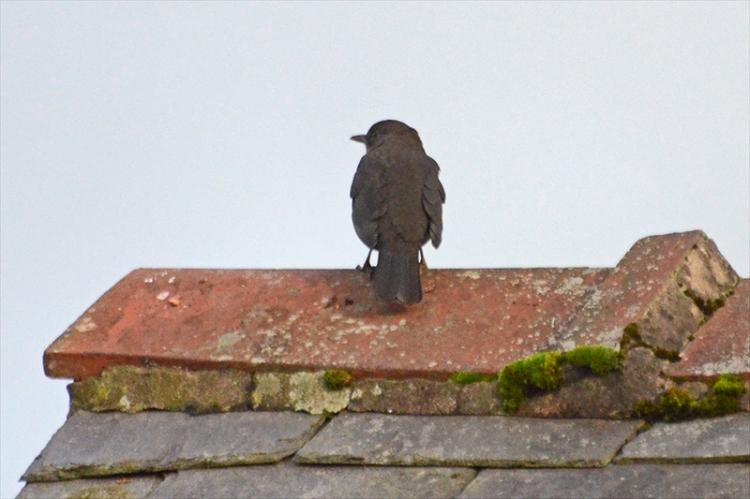 blackbird on tiles