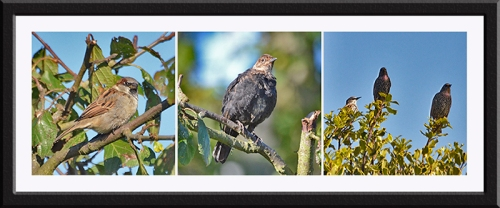 chaffinch, blackbird, starlings