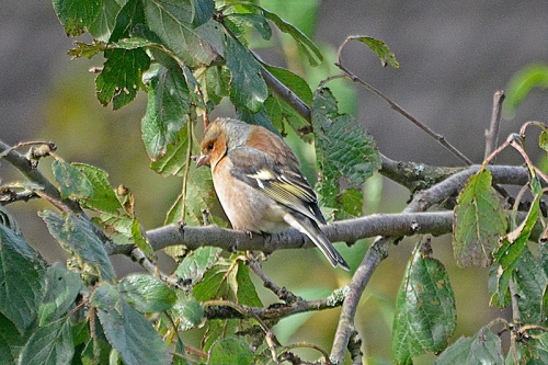 chaffinch in shabby plum tree