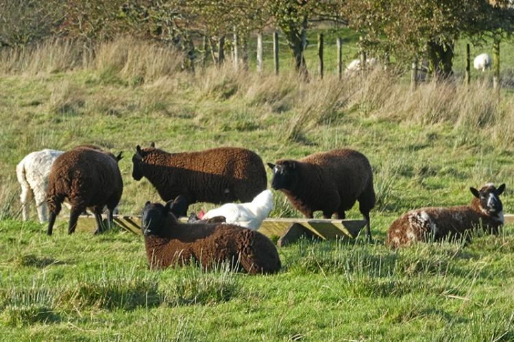 chicken and sheep becks track