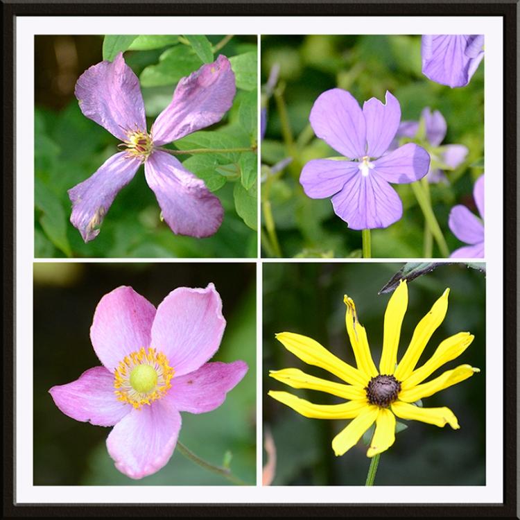 clematis, viola, anemone, black eyed susan