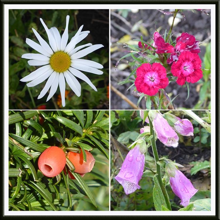 daisy, sweet william, yew berries, foxglove