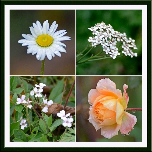 daisy, yarrow, sweet rocket and rose