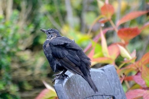 dishevelled blackbird