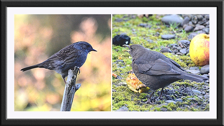 dunnock and blackbird