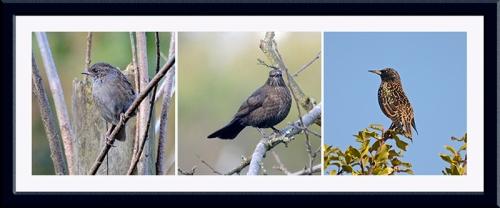 dunnock, blackbird, starling