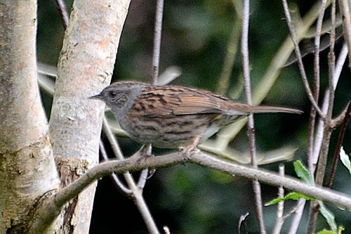 `dunnock in lilac
