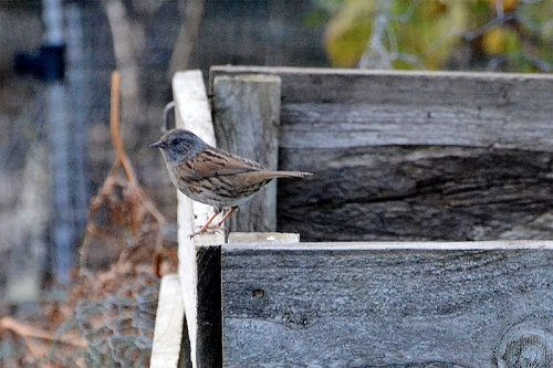 dunnock on edge