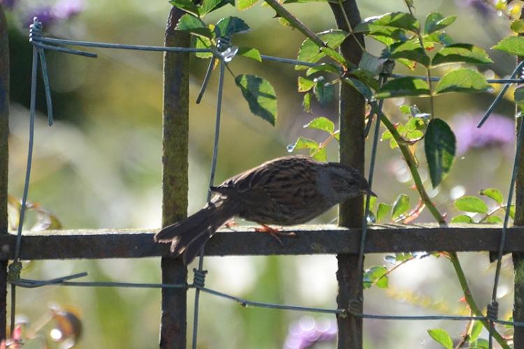 dunnock on fence