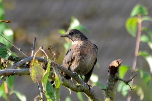 fierce balckbird