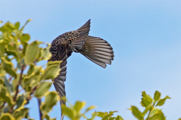 flying away starling