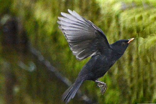 flying blackbird