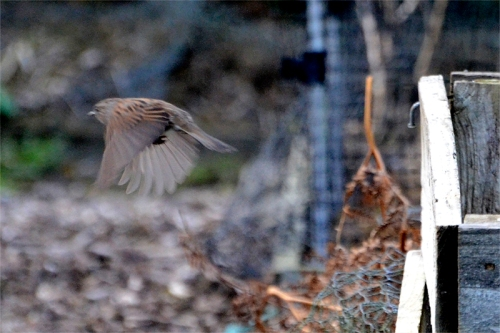 flying dunnock