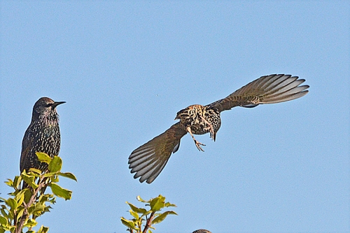 flying starling and spectator
