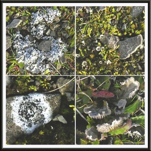 four lichens