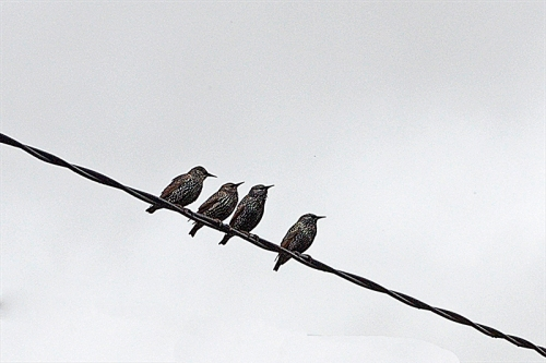 four starlings on wire
