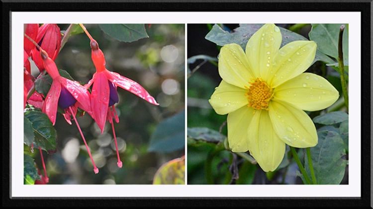 fuchsia and dahlia