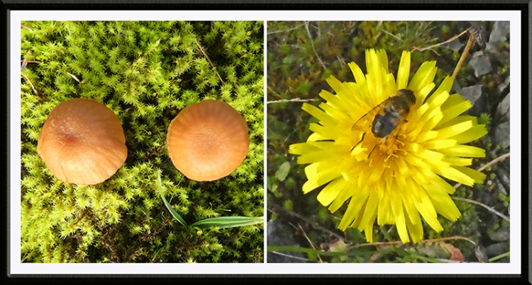 fungus and dandelion with insect
