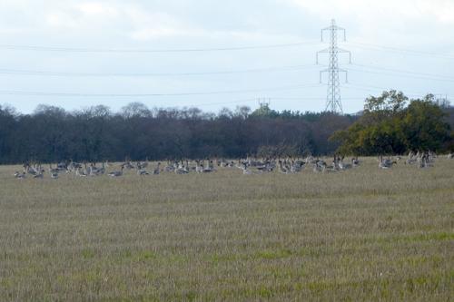 geese at Englishtown