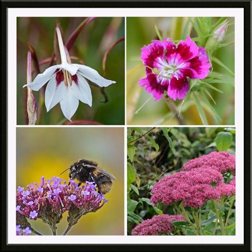 gladiolus, sweet william, verbena, sedum