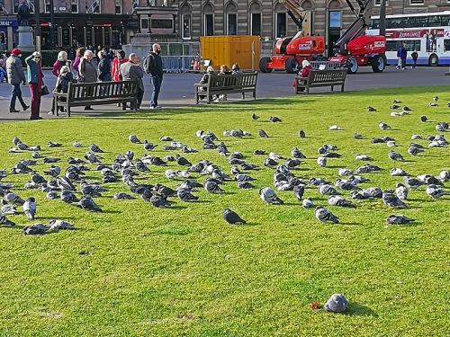 Glasgow pigeons