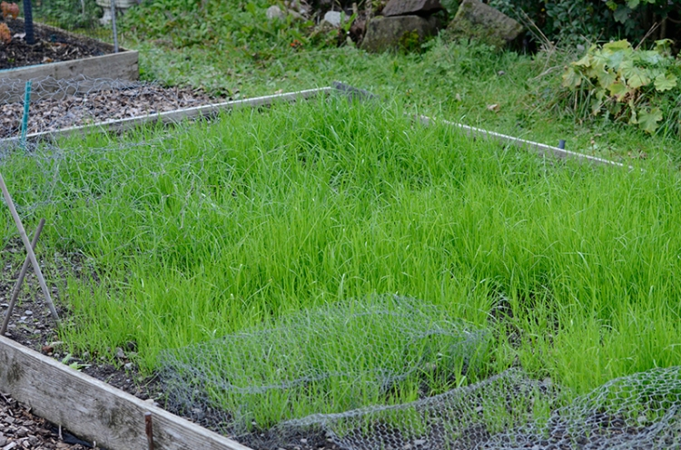 grass sown on potato bed