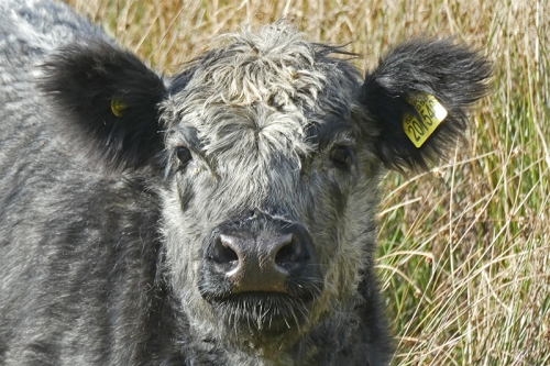 grey cow
