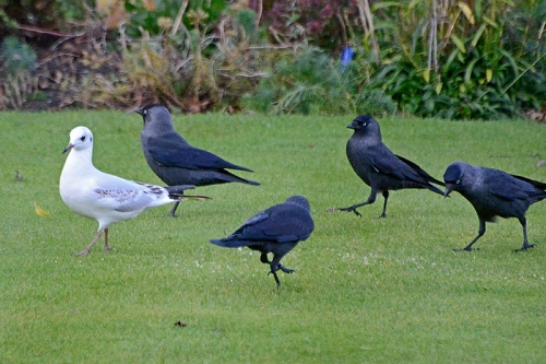 gull and jackdaws