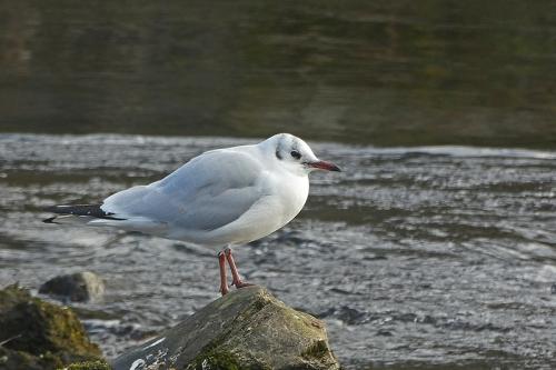 gull on rock in esk