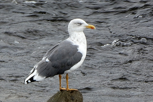 gull with eye shadow
