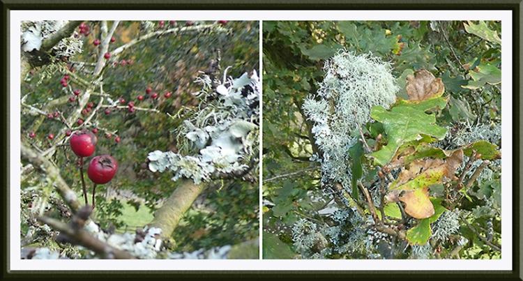 hawthorn and oak lichen