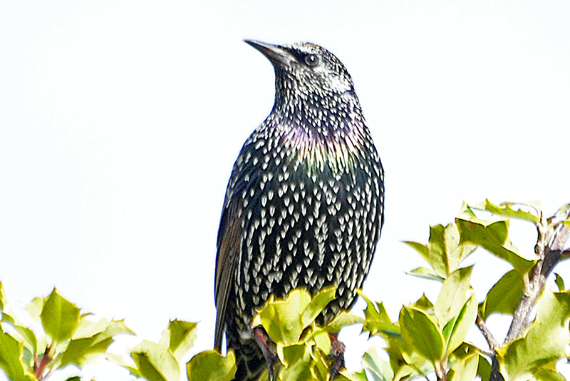 hearty starling