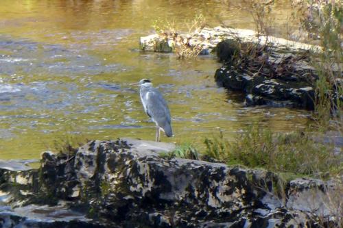 heron at hollows