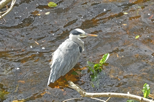heron at jubilee bridge