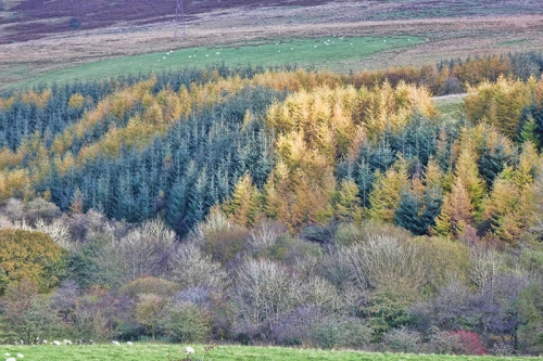 larches late october high mill